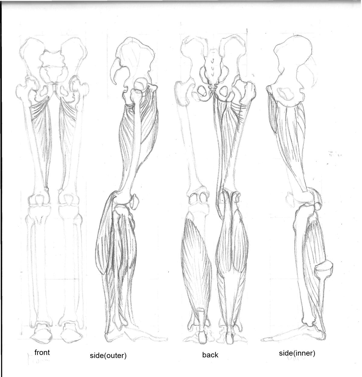 leg muscles drawing - photo #18