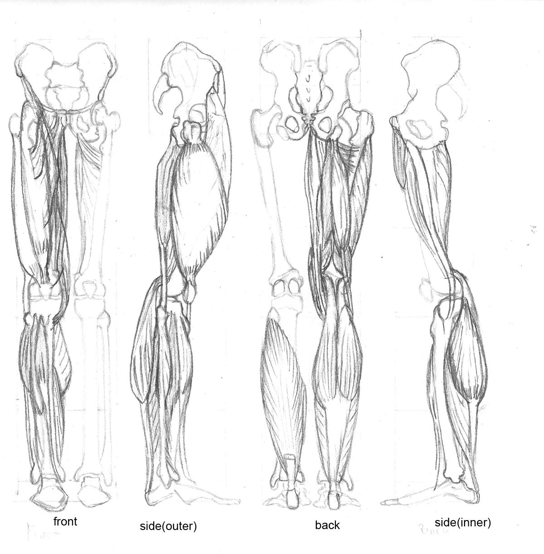 Cat anatomy  Wikipedia